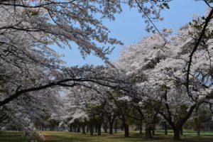 相馬原駐屯地の桜